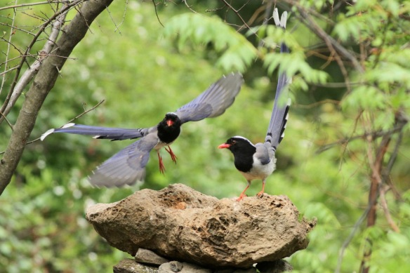 Red-billed blue magpies, on 5 April 2018