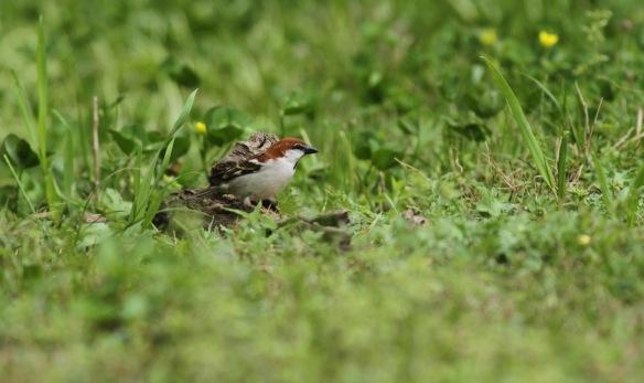 Russet sparrow, 5 April 2018
