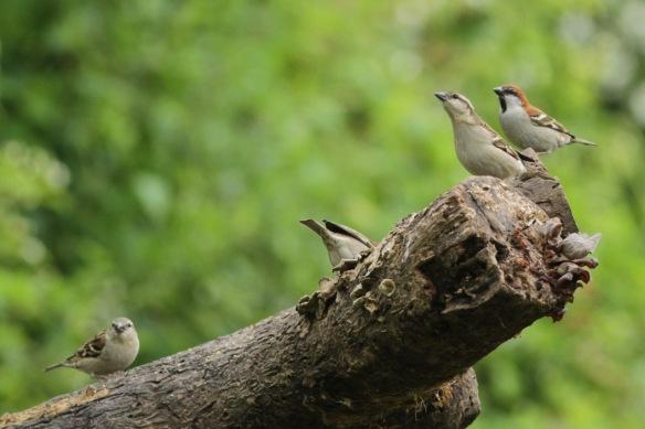 Russet sparrows, 5 April 2018