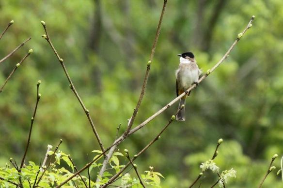 Songbird, 5 April 2018
