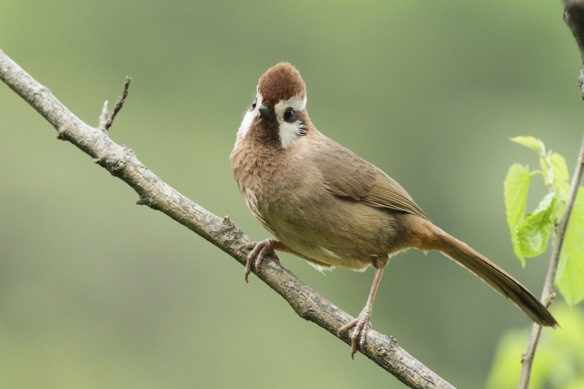 White-browed laughingthrush, 5 April 2018
