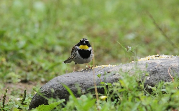 Yellow-throated bunting, 5 April 2018