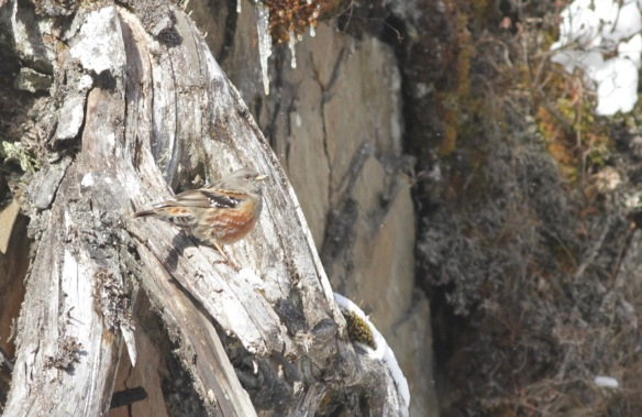Alpine accentor, 8 April 2018