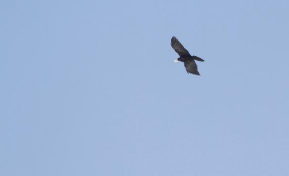 Bearded vulture, 8 April 2018