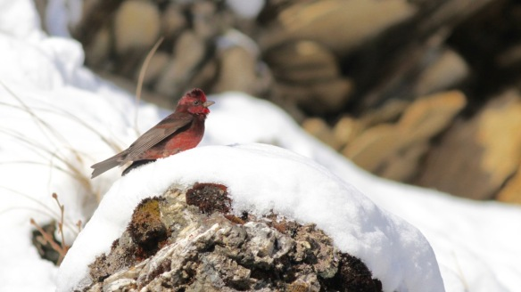 Dark-breasted rosefinch