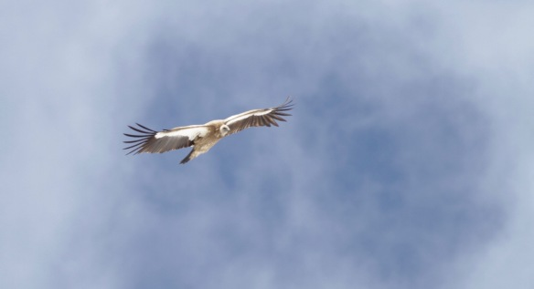 Himalayan vulture, on 8 April 2018