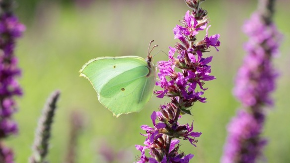 Brimstone, in the Rammelwaard, July 2018
