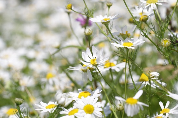 Chamomile fowers, in the Rammelwaard, July 2018
