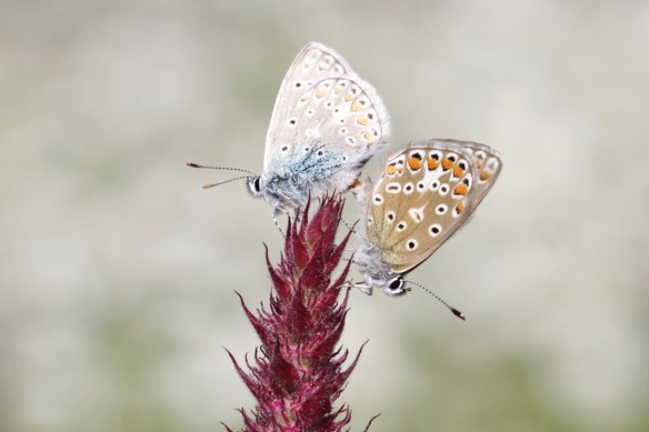 Common blue butterflies mating, Rammelwaard, July 2018