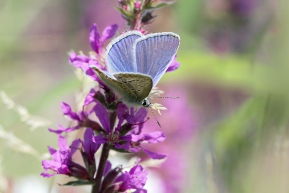 Common blue male, in the Rammelwaard, July 2018