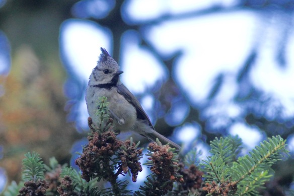 Crested tit, July 2018