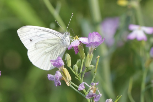 Green-veined white, July 2018