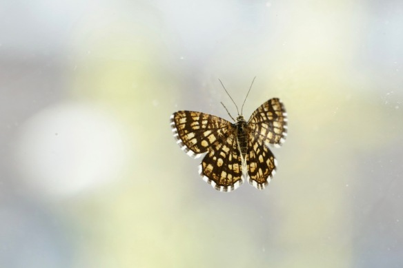 Latticed heath moth, 4 August 2018