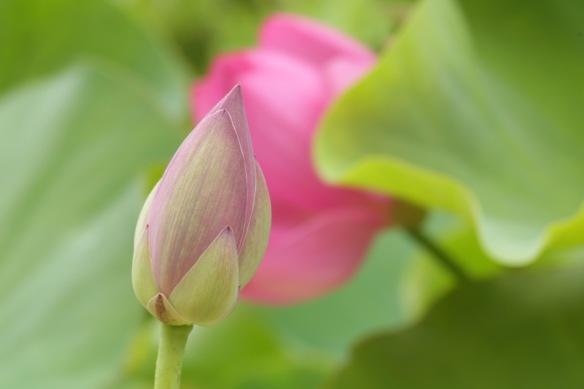 Sacred lotus bud, 10 August 2018