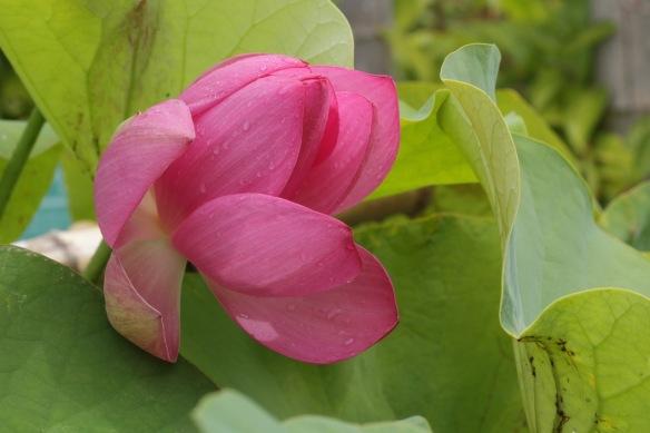 Sacred lotus flower, 10 August 2018