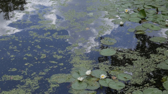Water lilies, 10 August 2018