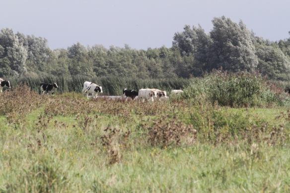 Cows, 7 September 2018