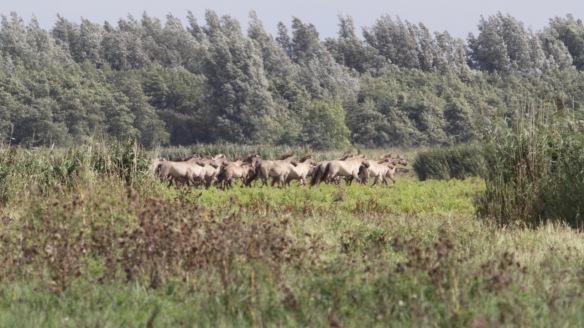 Konik horses, 7 September 2018