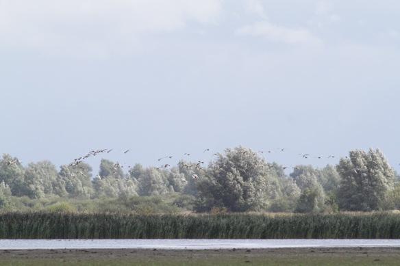 Lauwersmeer, barnacle geese, 7 September 2018