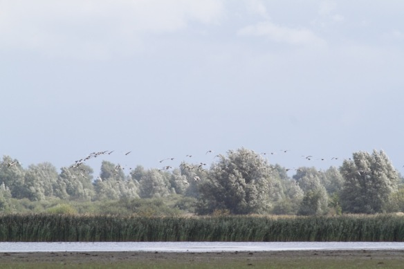 Lauwersmeer, barnacle geese, 7 September 2018