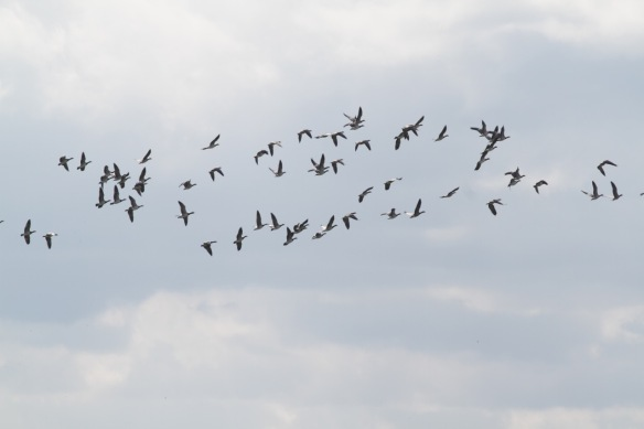 Lauwersmeer, barnacle geese flying, on 7 September 2018