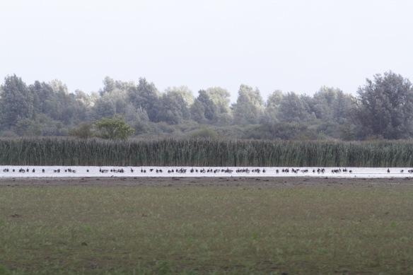 Lauwersmeer, barnacle geese, on 7 September 2018