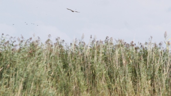 Marsh harrier, 7 September 2018