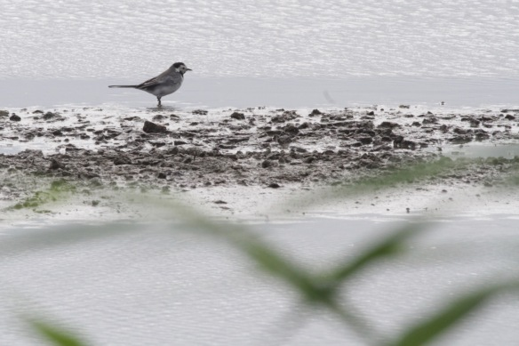 White wagtail, 7 September 2018