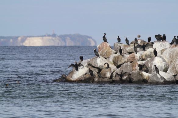 Great cormorants, 8 October 2018