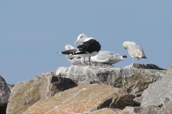 Gulls, 8 October 2018