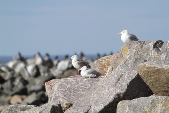 Herring gulls, 8 October 2018
