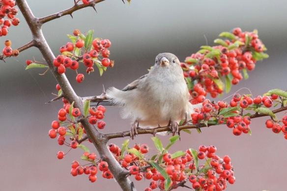 House sparrow, 8 October 2018