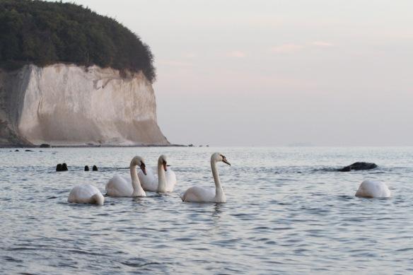Mute swans, 10 October 2018