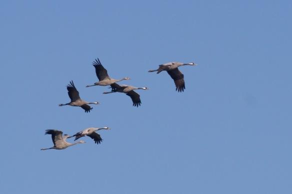 Six cranes, 11 October 2018