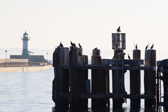 Great cormorants, 12 October 2018