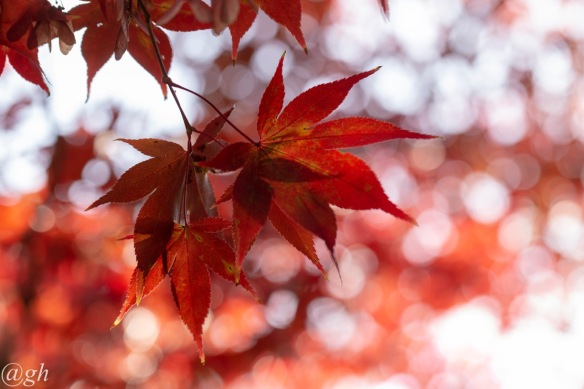 Downy Japanese maple leaves
