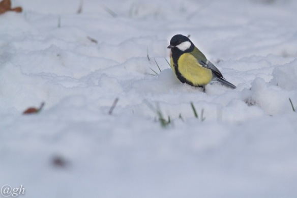 Great tit male, 23 January 2019