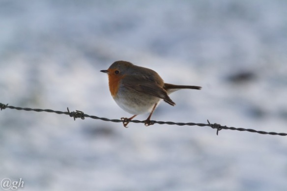 Robin, 23 January 2019