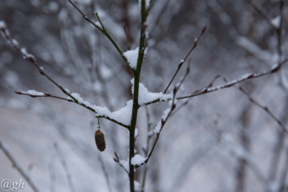 Snow on branches, 22 January 2019