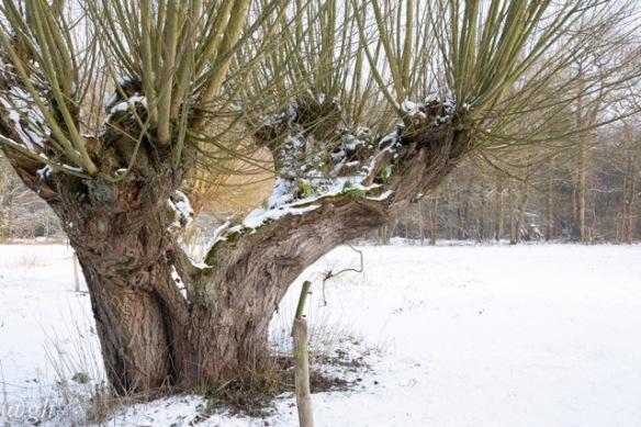 Willow tree, 22 January 2019