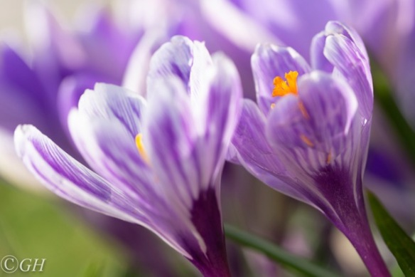 Purple crocus flowers, 23 February 2019