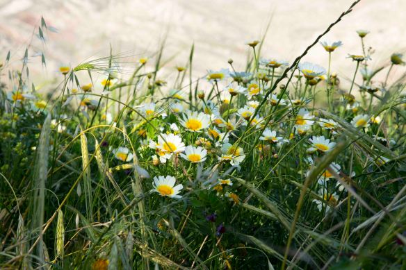 Chamomile and oats, 19 April 2019