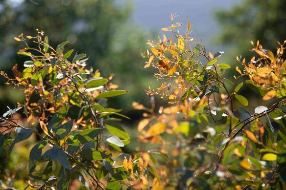 Eucalypt leaves, 19 April 2019