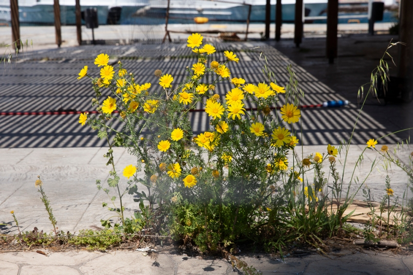 Kos harbour flowers, 18 April 2019