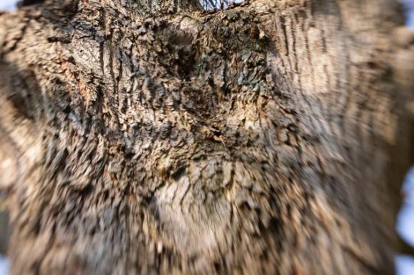 Scots elm