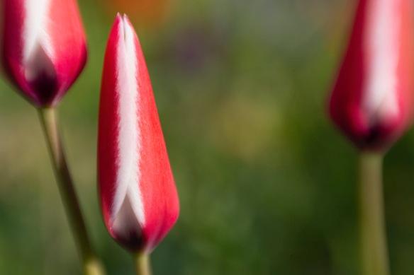 Tulipa clusiana, 9 April 2019