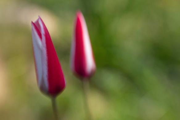 Tulipa clusiana, on 9 April 2019