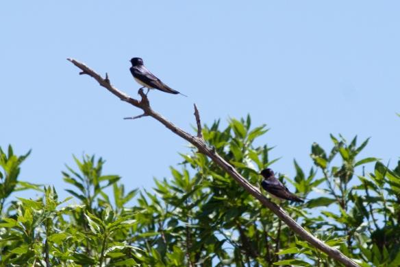 Barn swallows, 8 May 2019