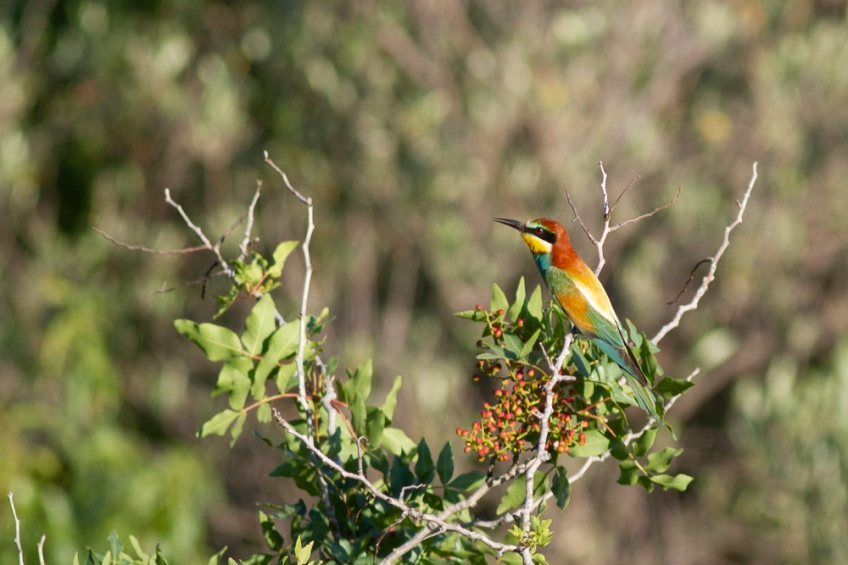 Bee-eater, on 13 May 2019