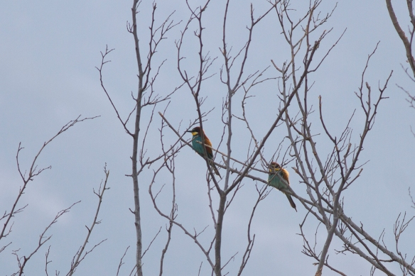 Bee-eaters, 10 May 2019